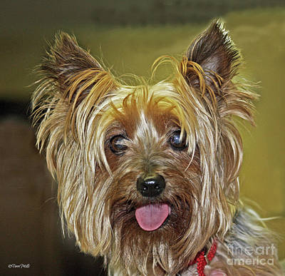 Photograph - Yorkie by Terri Mills
