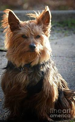 Photograph - Yorkshire Terrier 16-01 by Maria Urso