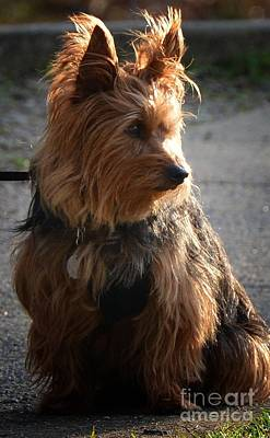 Photograph - Yorkshire Terrier 16-02 by Maria Urso