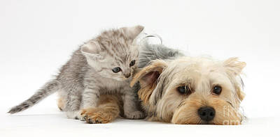 Of Kittens Photograph - Yorkshire Terrier And Tabby Kitten by Mark Taylor