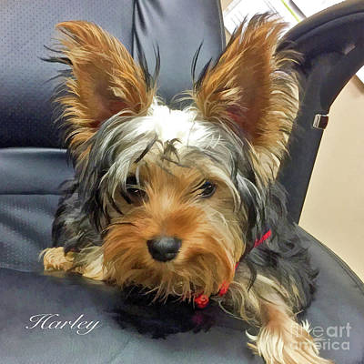 Photograph - Yorkshire Terrier Harley by Kathy Baccari