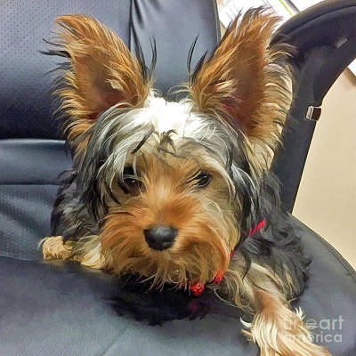 Photograph - Yorkshire Terrier by Kathy Baccari