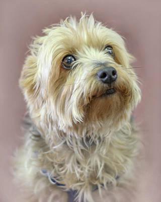 Terrier Digital Art - Yorkshire Terrier by Marion Johnson