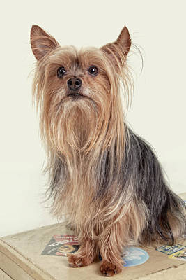 Yorkie Digital Art - Yorkshire Terrier Posing On A Suitcase by Susan Stone