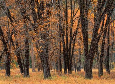 Photograph - Yosemite Black Oaks by Tom Kidd