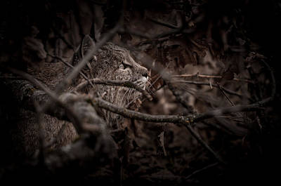 Bobcat Photograph - Yosemite Bobcat  by Ralph Vazquez