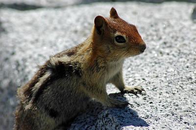 Branches Photograph - Yosemite Chipmunk by LeeAnn McLaneGoetz McLaneGoetzStudioLLCcom