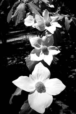 Photograph - Yosemite Dogwoods Black And White by Joyce Dickens
