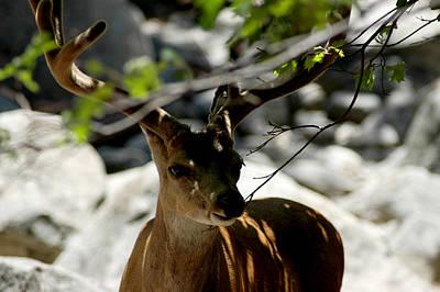 Antler Photograph - Yosemite Mule Deer Hiding by LeeAnn McLaneGoetz McLaneGoetzStudioLLCcom