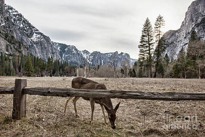 Photograph - Yosemite National Park Deer Landscape  by Chuck Kuhn