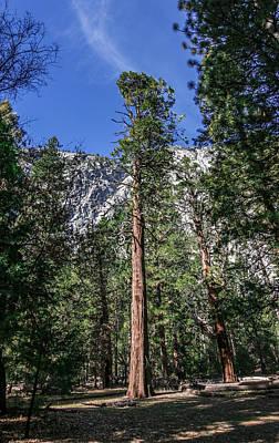 Photograph - Yosemite Pine Tree by Adam Rainoff