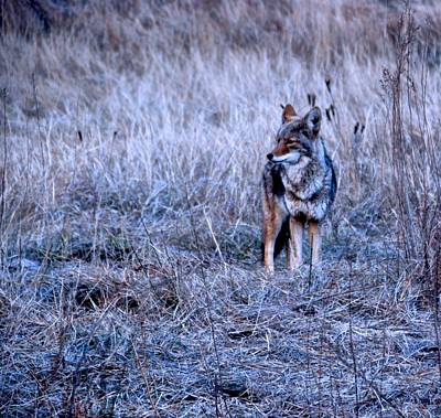 Photograph - Yosemite's Coyote by Eric Tressler