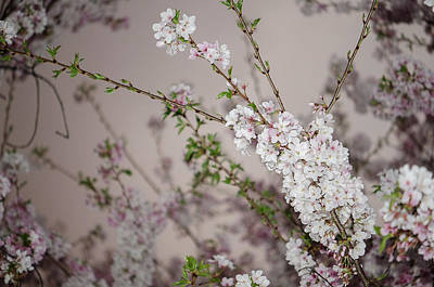 Photograph - Yoshino Cherries Lavender by Amanda Rimmer