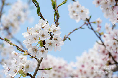 Yoshino Cherry Blossom Art Print by Tim Gainey