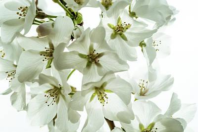 Photograph - Yoshino Cherry Blossoms  by Jay Stockhaus