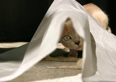 Tonkinese Cat Photograph - Yotsu by Kristin Elmquist