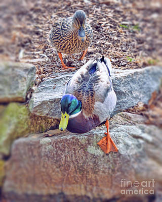 Photograph - You Go First - Male And Female Mallard Ducks by Kerri Farley