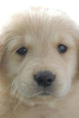 Golden Retrievers Photograph - You Had Me At Woof - Golden Retriever Puppy by Stan Fellerman