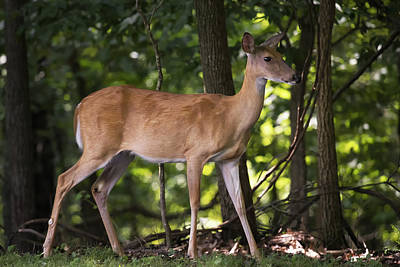 Missouri Whitetail Photograph - You Look Beautiful Deer by Mike Dawson