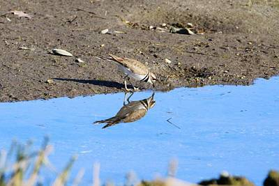 Killdeer Photograph - You Look Familiar  by Karen Silvestri