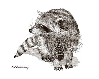 Drawing - You Looking At M E  Randy Raccoon by Jack Pumphrey