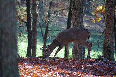 Michael Barry Photograph - Young Buck Foraging by Michael Barry
