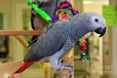Photograph - Young African Grey Parrot by Jill Lang