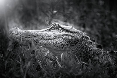 Young Alligator At Sunrise Art Print by Mark Andrew Thomas