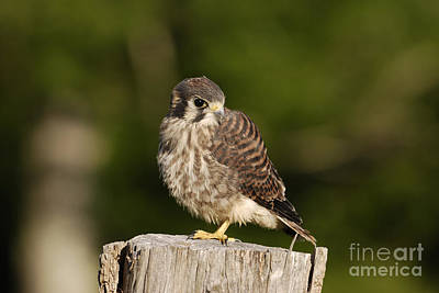 Photograph - Young American Kestrel by Randy Bodkins