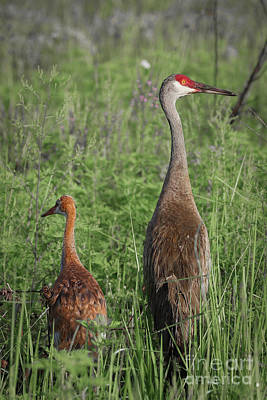 Photograph - Young And Adult Sandhills by Tom Claud