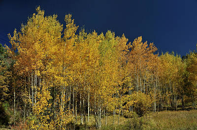 Photograph - Young Aspen Family by Ron Cline