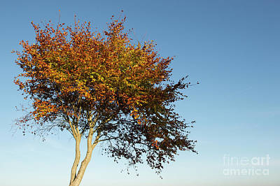 Photograph - Young Autumn Beech Tree by Tim Gainey