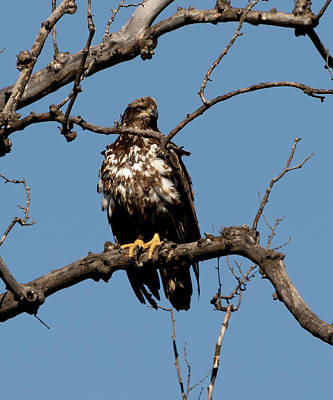 Photograph - Young Bald Eagle 1 by David Lester
