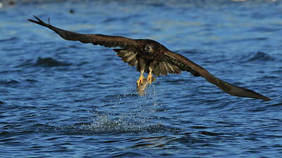 Photograph - Young Bald Eagle Catching Fish by Coby Cooper