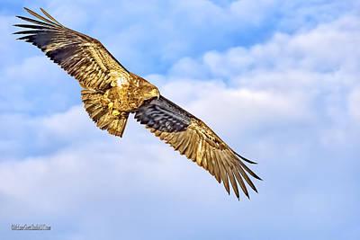 Photograph - Young Bald Eagle by LeeAnn McLaneGoetz McLaneGoetzStudioLLCcom