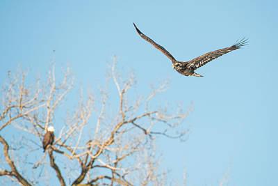 Bif Photograph - Young Bald Eagle by Paul Freidlund