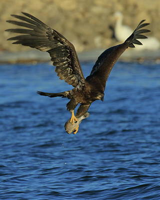 Photograph - Young Bald Eagle With Fish by Coby Cooper
