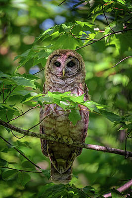 Photograph - Young Barred Owl In Acadia by Rick Berk