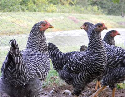 G B Photograph - Young Barred Rock Hens by G B