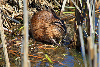 Photograph - Young Beaver Nibbling On Pond Straw by Ron Grafe