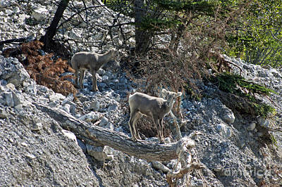 Photograph - Young Big Horn Sheep - Jasper by Cindy Murphy - NightVisions