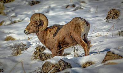 Photograph - Young Bighorn Ram1 by Jason Brooks