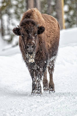 Photograph - Young Bison by Sonya Lang