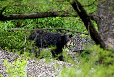 Photograph - Young Black Bear by Debbie Oppermann