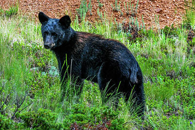 Photograph - Young Black Bear by Marilyn Burton