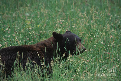 Photograph - Young Black Bear by Stan and Anne Foster