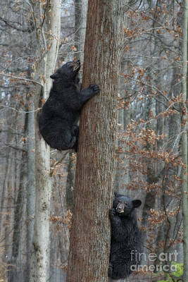 Photograph - Young Black Bears Climbing A Tree  by Dan Friend