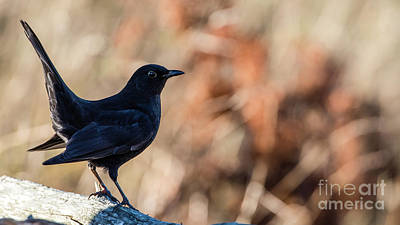 Trush Photograph - Young Blackbird's Profile by Torbjorn Swenelius