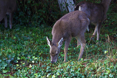 Photograph - Young Blacktail by Jeanette C Landstrom