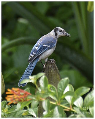Photograph - Young Blue Jay by Carol  Bradley